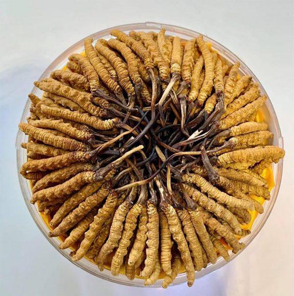 đông trùng hạ thảo tươi, đông trùng hạ thảo ngâm rượu, cách ăn đông trùng hạ thảo tươi, đông trùng hạ thảo pha trà
