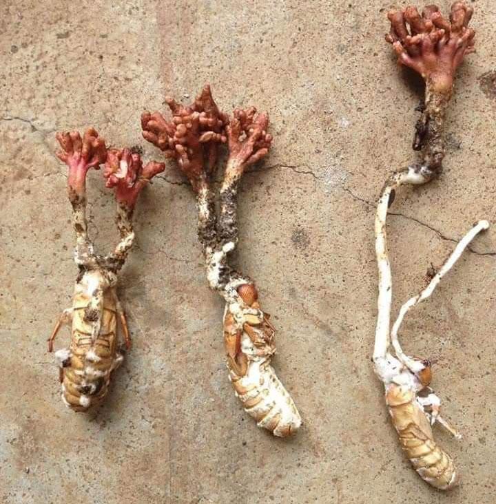 đông trùng hạ thảo ve sầu, đông trùng hạ thảo ve sầu có tác dụng gì, đông trùng ve sầu, đông trùng hạ thảo từ ve sầu, Gía đông trùng hạ thảo ve sầu, đông trùng hạ thảo từ xác ve sầu