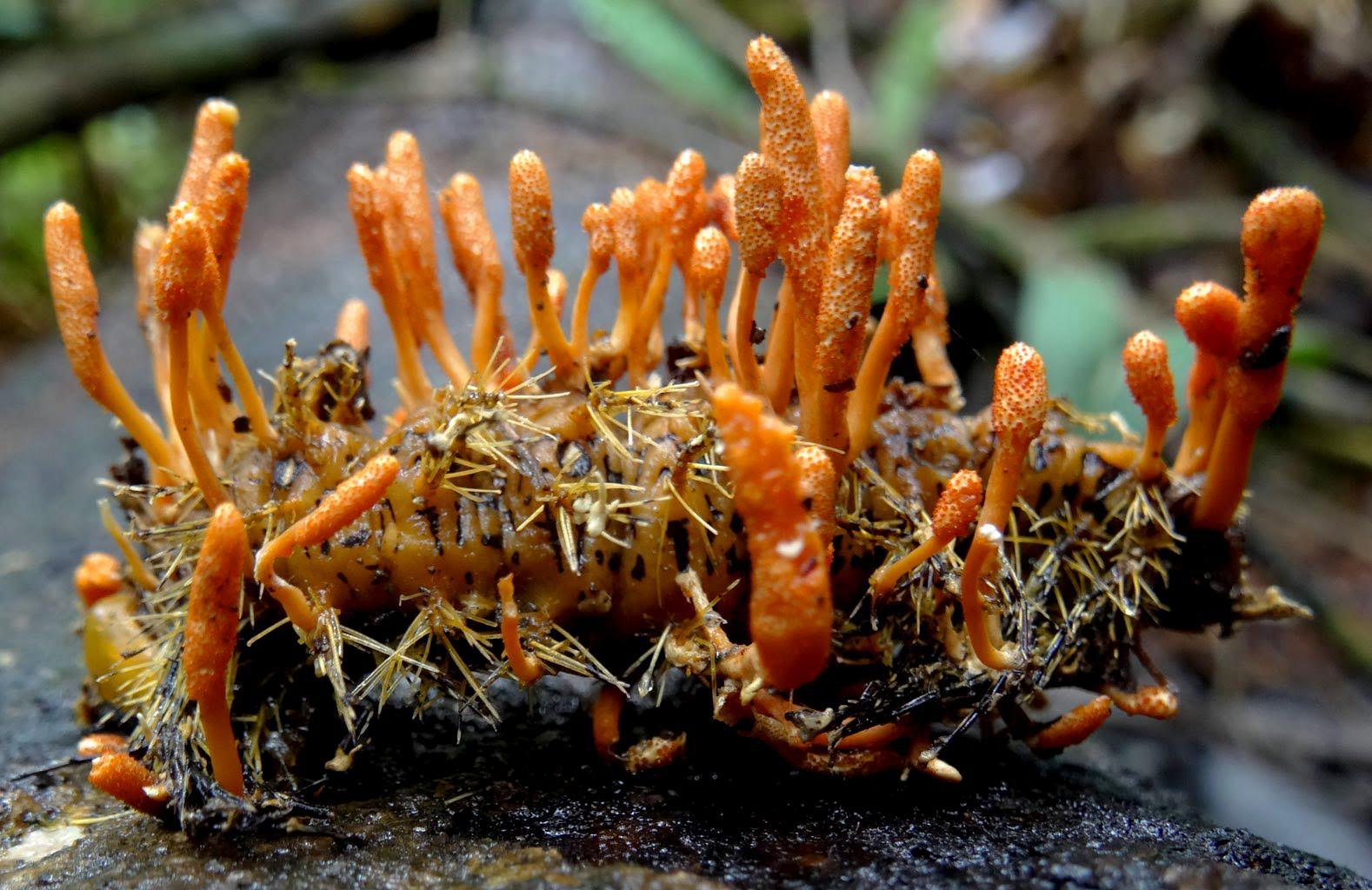 quá trình hình thành đông trùng hạ thảo, quá trình phát triển của đông trùng hạ thảo, vòng đời của đông trùng hạ thảo, sự hình thành đông trùng hạ thảo